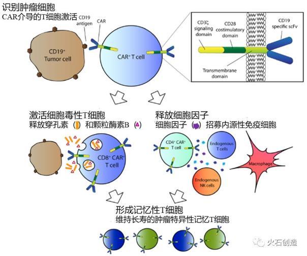 一文读懂肿瘤免疫治疗新贵——CAR-T